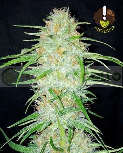 Amnesica (Mano Verde Seeds) Semilla Feminizada 2