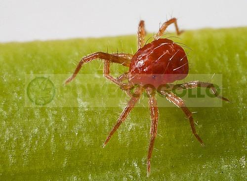 Araña Roja  0