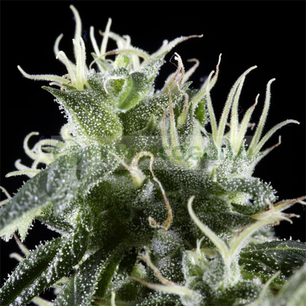 Arjan´s Haze #1 (Green House Seeds) 2