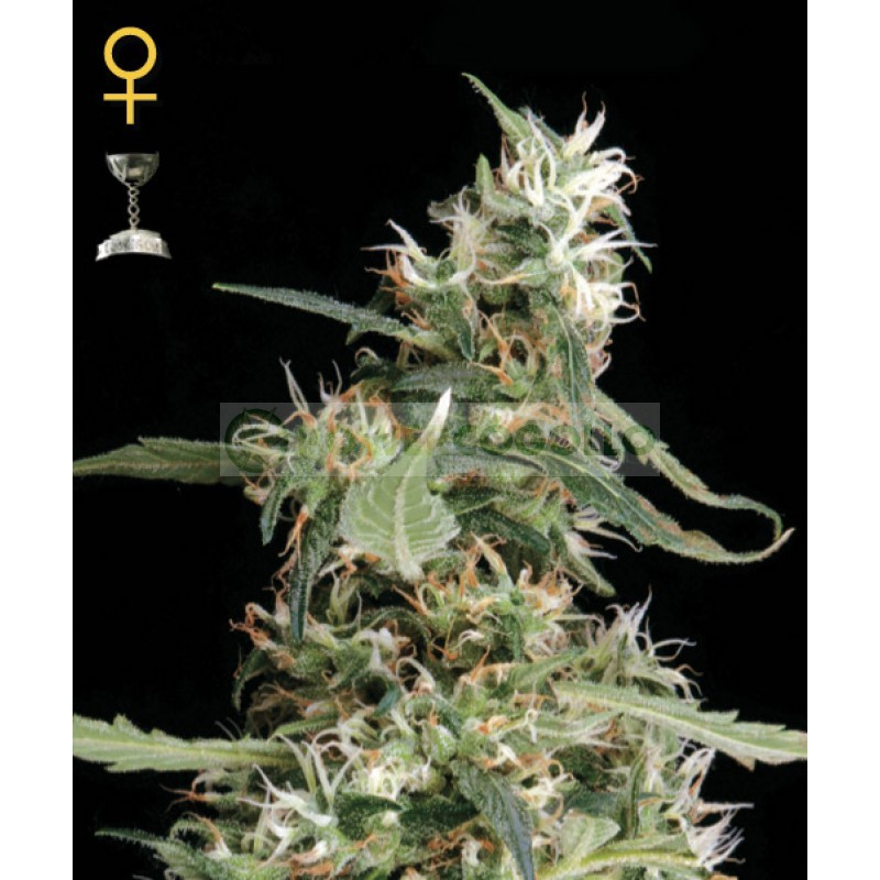 Arjans Ultra Haze #1 (Green House Seeds) 1