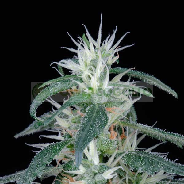 Arjans Ultra Haze #1 (Green House Seeds) 2