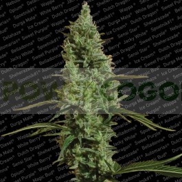 Atomical Haze (Paradise Seeds) Feminizada 0