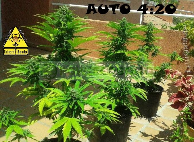 Auto 4:20 (Biohazard Seeds) 2