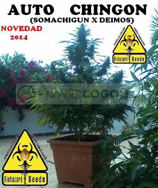Auto Chingón (Biohazard Seeds) Feminizada Barata  0
