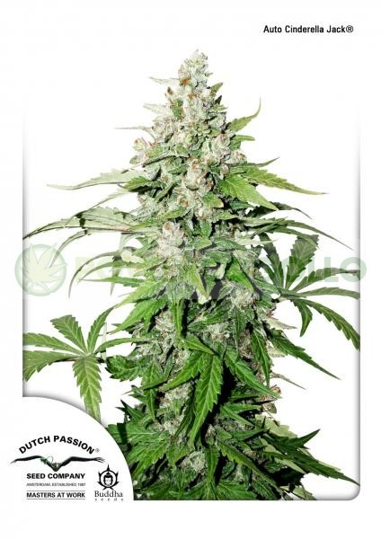 Auto Cinderella Jack (Dutch Passion) 0