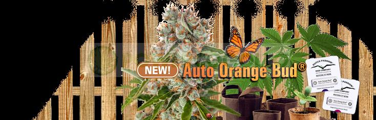 Auto Orange Bud (Dutch Passion) Semilla Feminizada  1
