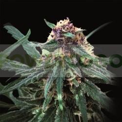 Auto Purple (Pyramid Seeds) 0