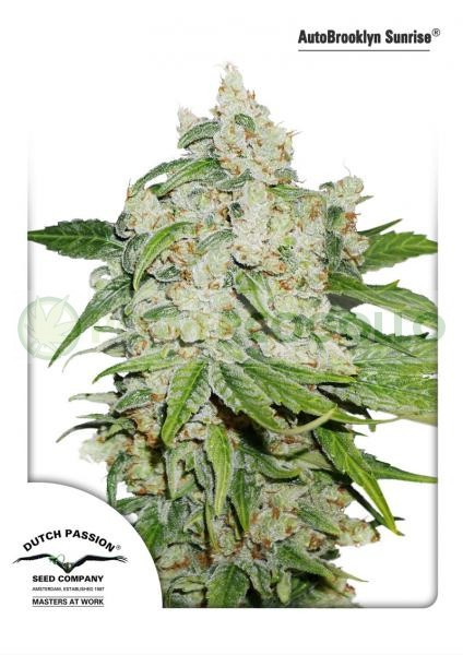 AutoBrooklyn Sunrise Dutch Passion Autoflowering 0