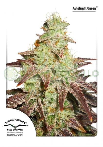 AutoNight Queen Dutch Passion Seeds 0