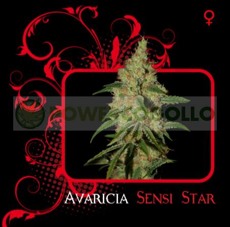 Avaricia Sensi Star  0