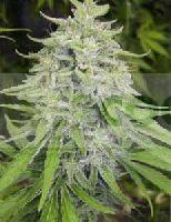 Bangi Haze (Ace Seeds) Feminizada 2