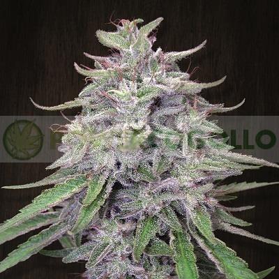 Bangi Haze (Ace Seeds) Feminizada 3
