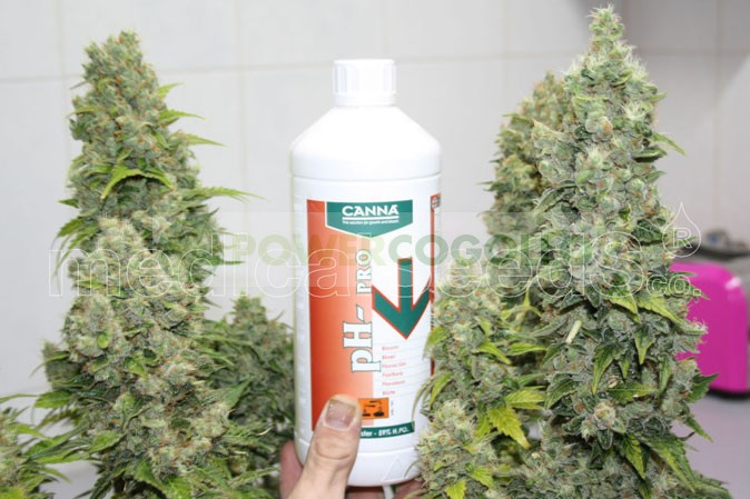 Bcn Sour Diesel (Medical Seeds) Feminizadas 1