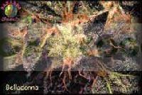 Belladonna (Paradise Seeds) Feminizada 0