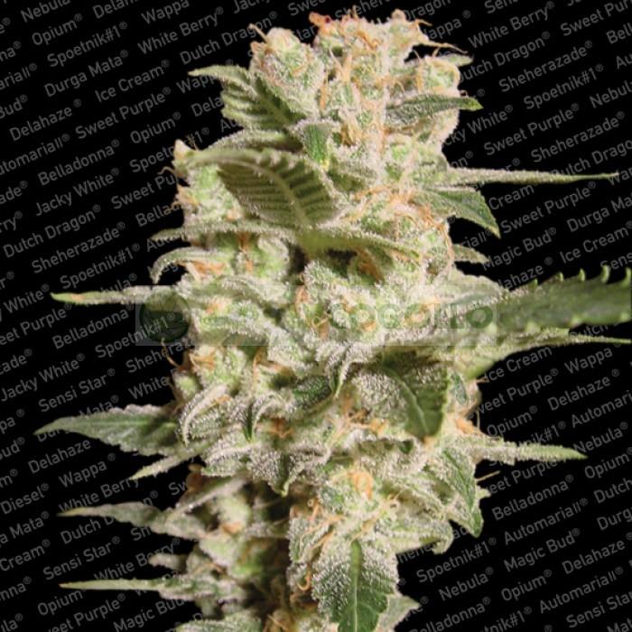Belladonna (Paradise Seeds) 2