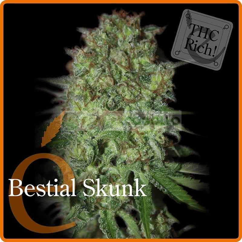 Bestial Skunk (Elite Seeds) Semilla  1