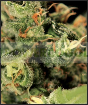 Big Bang Auto (Green House Seeds) Semilla 0