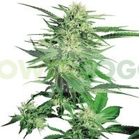 Big Bud Regular (Sensi Seeds) 0
