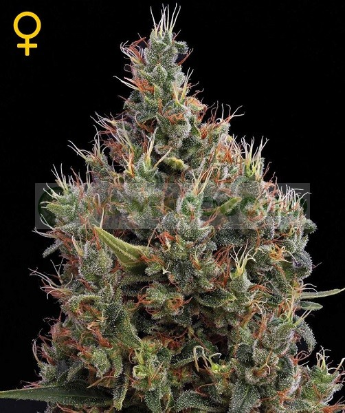 Big Bang Auto (Green House Seeds) Semilla 1