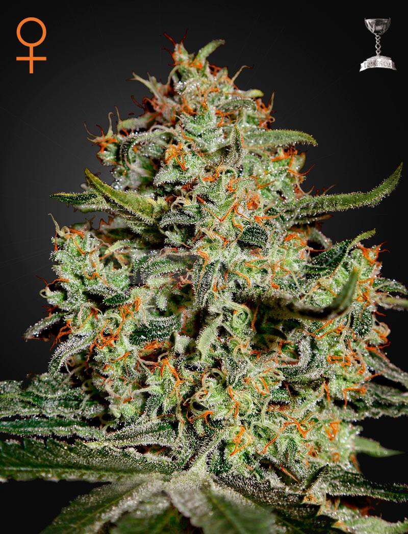 Big Bang (Green House Seeds)  Semilla Feminizada Big Bang 3° premio HTCC 2000.  Genética: Skunk, Northern Light, El Niño.  THC: 15,5%  CBD: 1.5%  CBN: 0.4%    Colocón: muy conocida por sus propiedades medicinales, se vende en las farmacias holandesas como 1