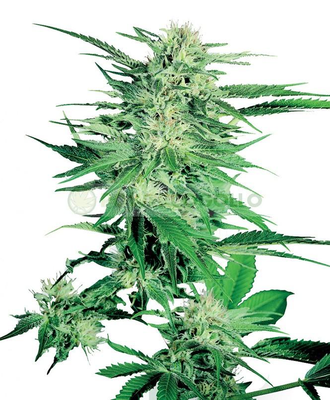 Big Bud Feminizada (Sensi Seeds) Semillas 2