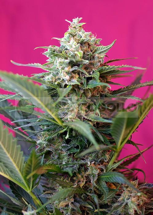 Big Devil XL Auto 3G (Sweet Seeds) Semilla Feminizada Autofloreciente 1