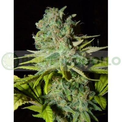 Big Lights (Biohazard Seeds) 1