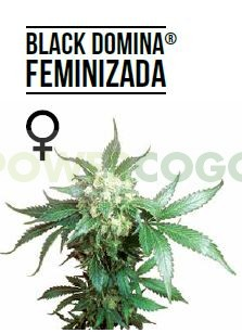 Black Domina Feminizada (Sensi Seeds) 0