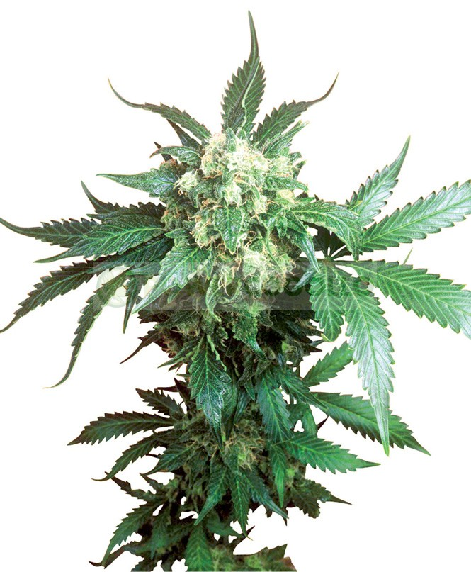 Black Domina Feminizada (Sensi Seeds) 1