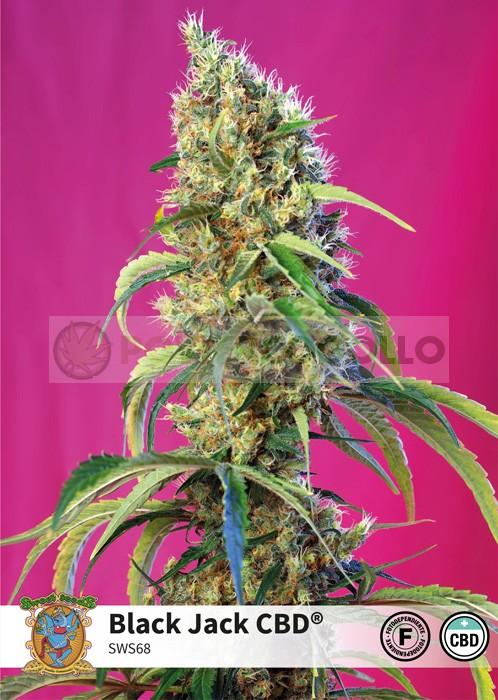 Black Jack CBD (Sweet Seeds) 0