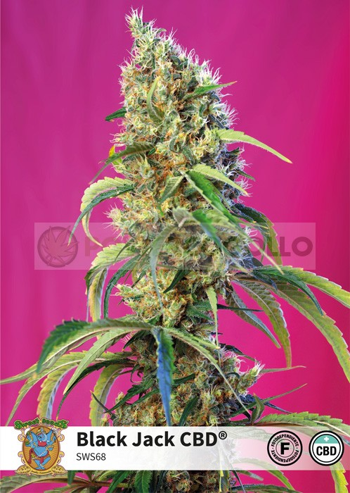 Black Jack CBD (Sweet Seeds)-5 0