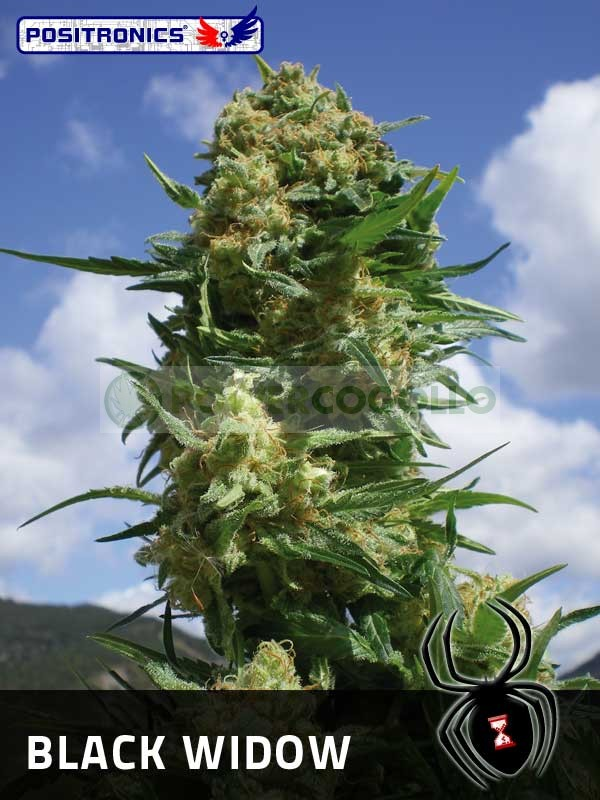 Black Widow (Positronics Seeds) 0