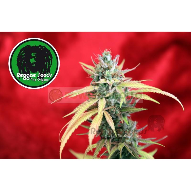 Blackdance (Reggae Seeds) Semilla Feminizada 1