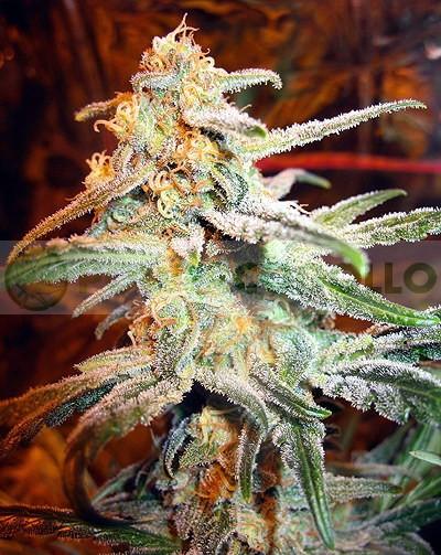 Blue Mistic (Royal Queen Seeds) Feminizada marihuana barata, 0