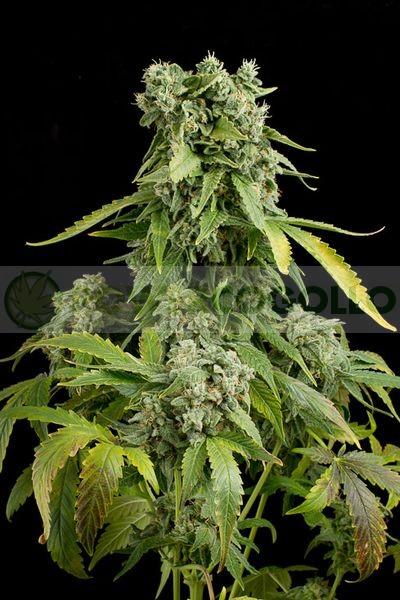 Blue Cheese Automatic (Dinafem) Semilla Autofloreciente Feminizada Cannabis 0