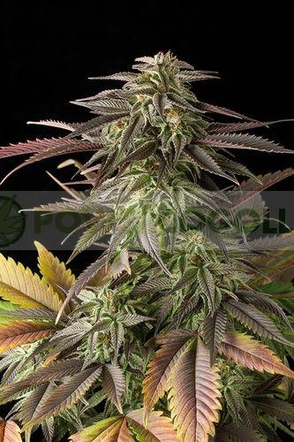 Blue Cheese (Dinafem) Semilla Feminizada Cannabis 1