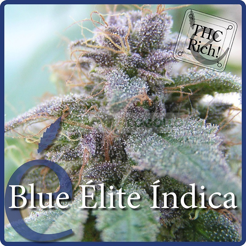 Blue elite índica (Elite Seeds) 1