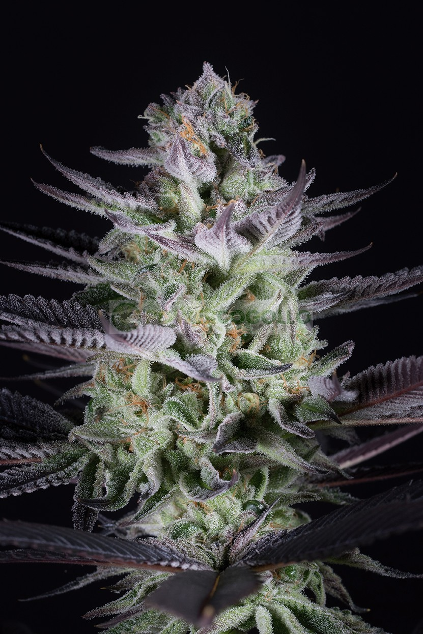 Blueberry Cookies Feminizada (Dinafem Seeds)  0