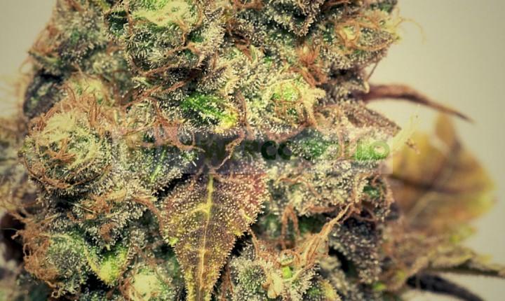 Bluesmog (Pepita Seeds) Semilla Feminizada Marihuana 0