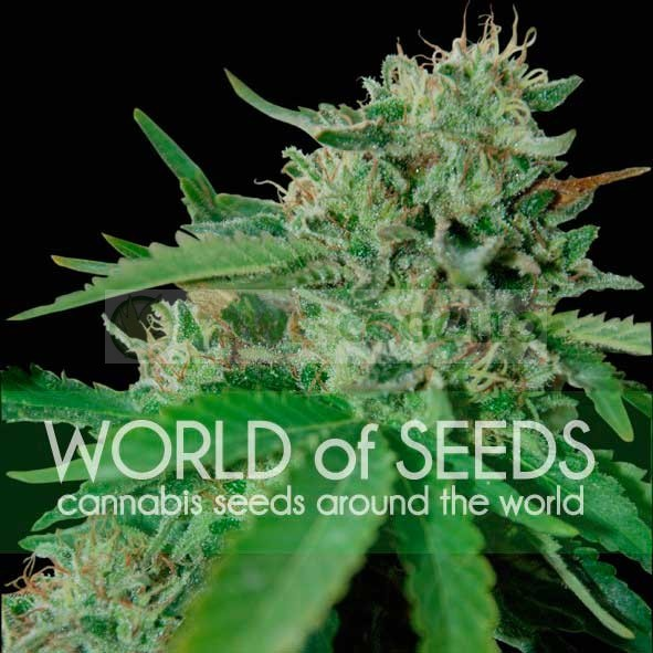 Brazil Amazonia Feminizada (World of Seeds) 1