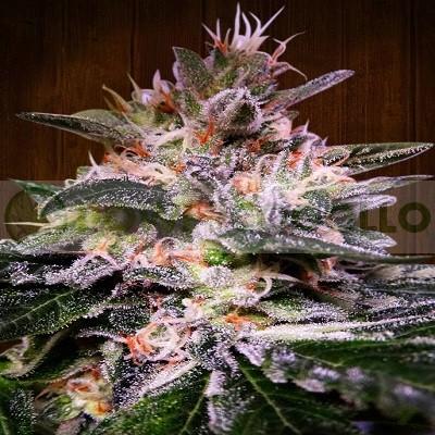 plantas de hachís produce flores relajantes, muy densas y sabrosas, llenas de resinas y de alto valor medicinal. 1