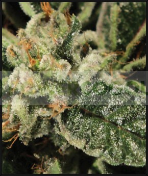 Bubba Kush (Green House Seeds) 1