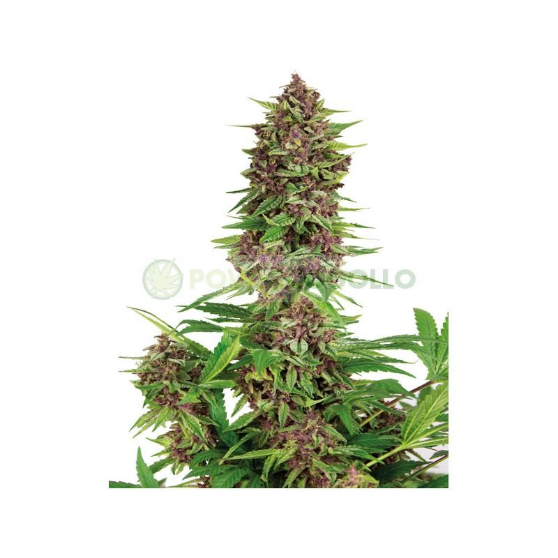 Buddha Purple Kush Feminizada (Buddha Seeds) 0