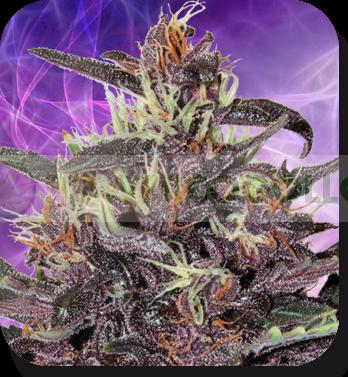 Buddha Purple Kush Auto (Buddha Seeds)  1
