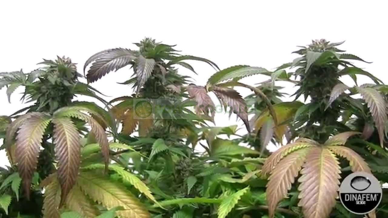 Bubba Kush CBD (Dinafem Seeds)-1 0