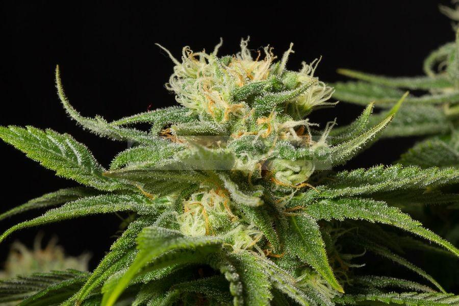 California Hash Plant (Dinafem) 1