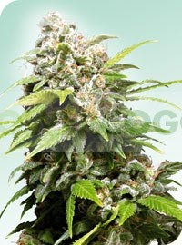 California Indica (Sensi Seeds) Regular 0