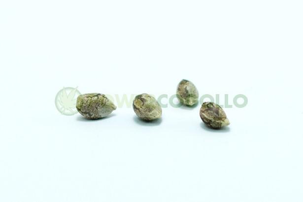 Canadian Kush (Medical Seeds)  0