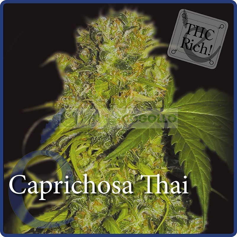 Caprichosa Thai (Elite Seeds) Semilla  1