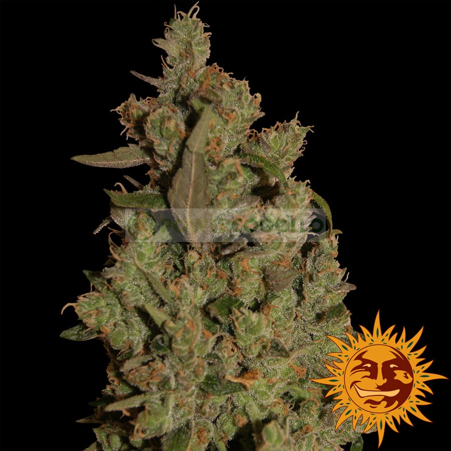 CBD CRITICAL CURE (Barney´s Farm Seeds) 0